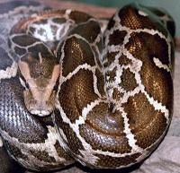 python_molurus_molurus_2-small