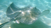 stingray_underwater-small